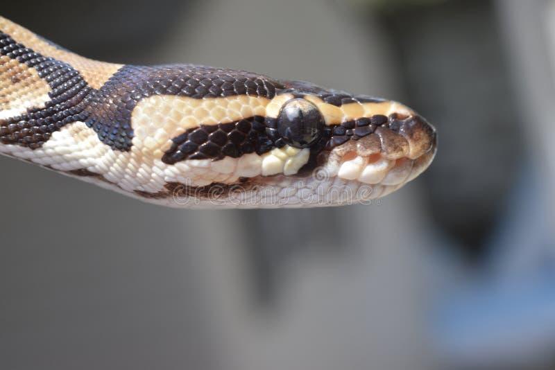 Python de boule images stock