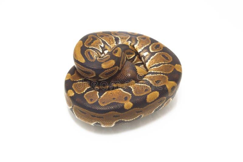Python de python de boule de fondation royale photos stock