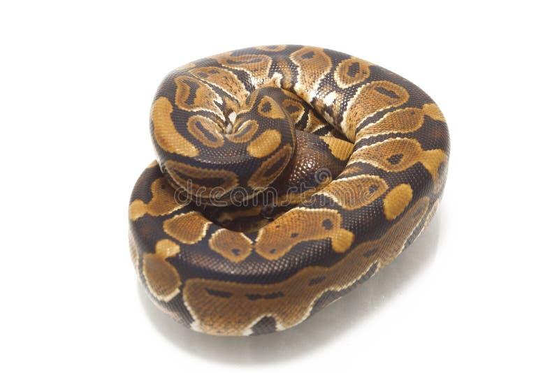 Python de python de boule de fondation royale images stock