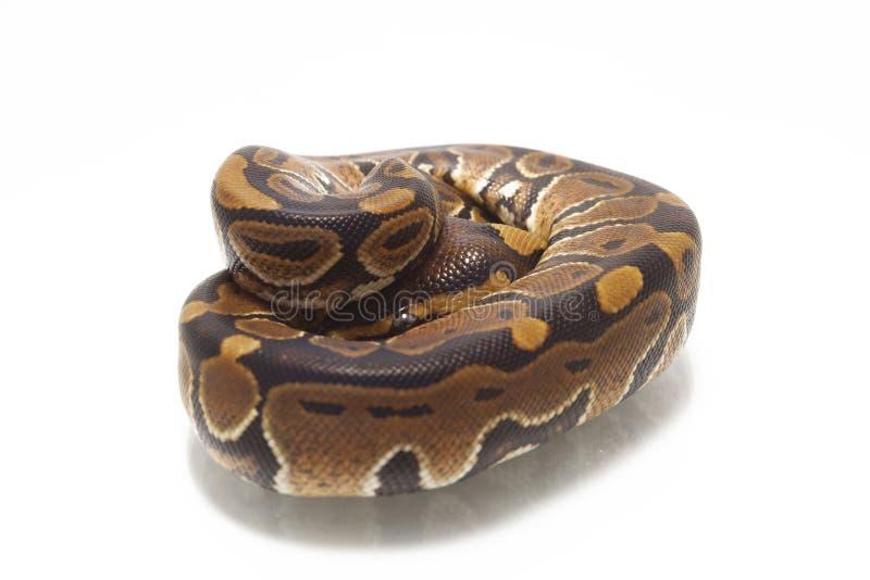 Python de python de boule de fondation royale photo libre de droits