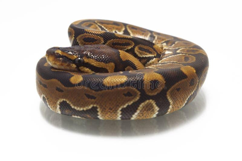 Python de python de boule de fondation royale images libres de droits