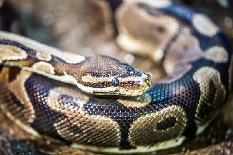 Python de boule, python de fondation royale images stock