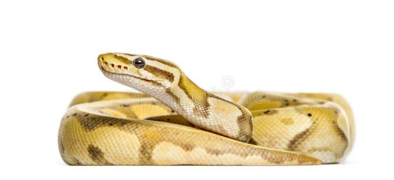Python de luciole, d'isolement photographie stock libre de droits