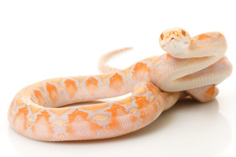 Python de Met een netvormig patroon van de Albino van de lavendel stock foto