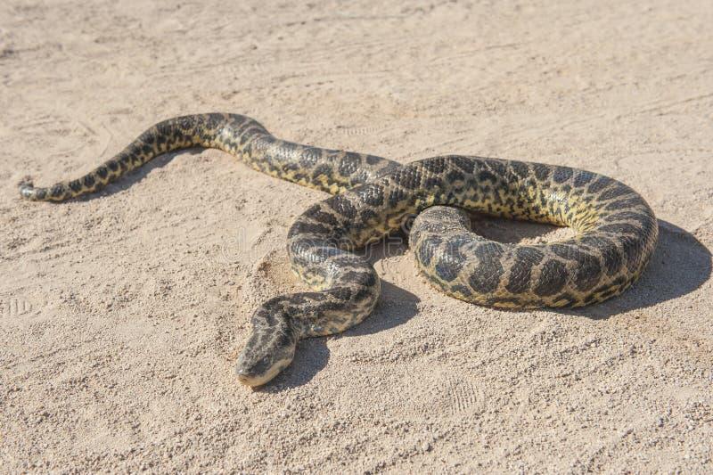 Python de roche de désert sur la terre arénacée images stock