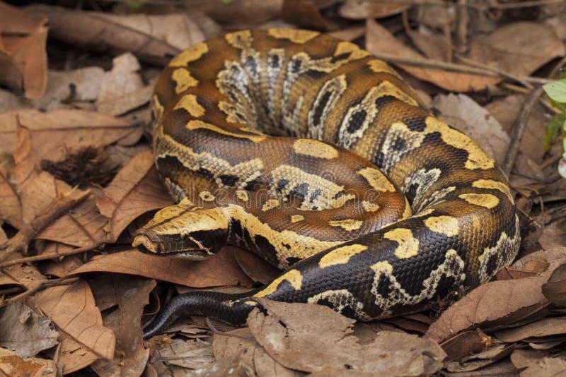 Python de sang de Sumatran/brongersmai de python photo stock