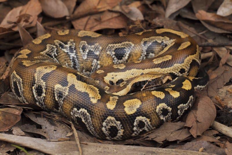 Python de sang de Sumatran/brongersmai de python images libres de droits