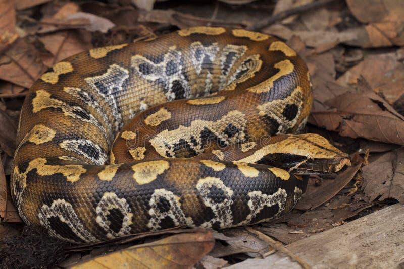 Python de sang de Sumatran/brongersmai de python photographie stock libre de droits