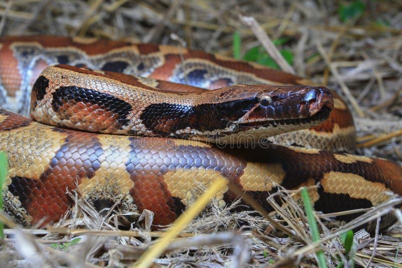 Python de sang de Sumatran/brongersmai rouges de python photos libres de droits