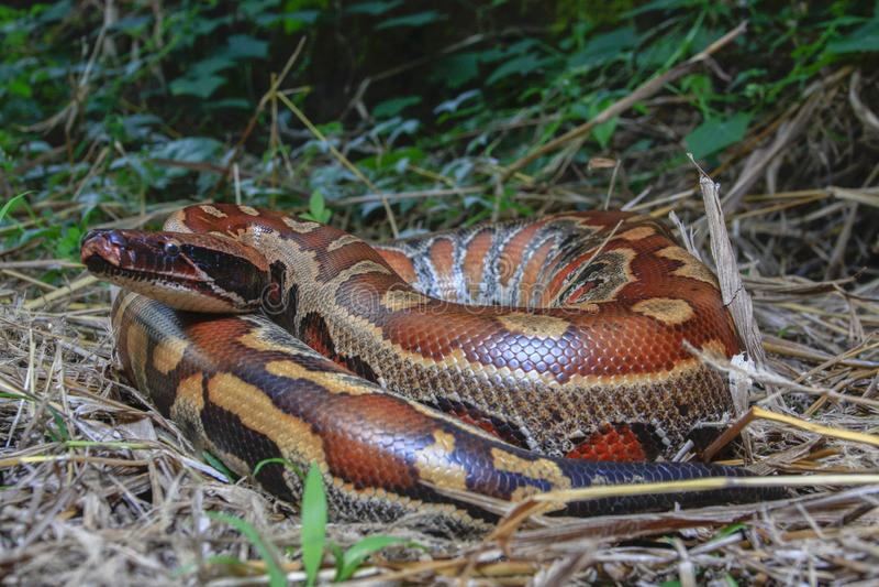 Python de sang de Sumatran/brongersmai rouges de python photographie stock