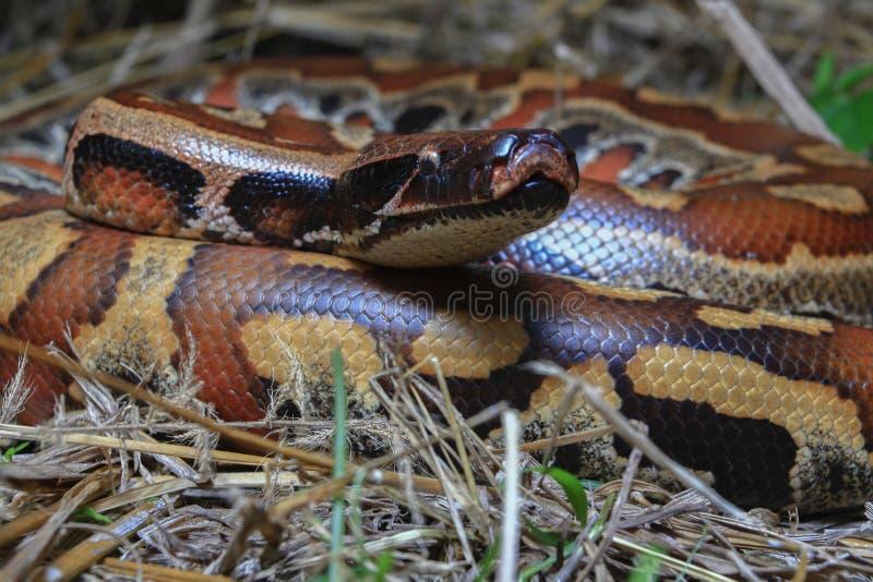 Python de sang de Sumatran/brongersmai rouges de python images stock