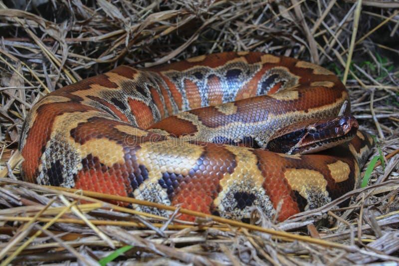 Python de sang de Sumatran/brongersmai rouges de python photographie stock libre de droits