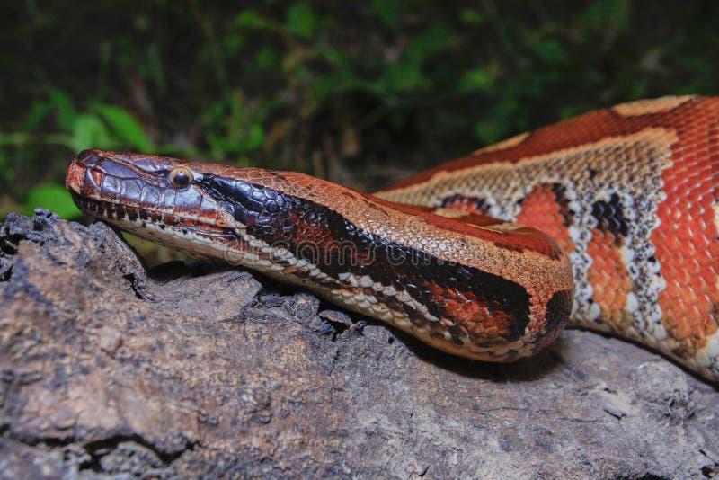 Python de sang de Sumatran/brongersmai rouges de python photo libre de droits