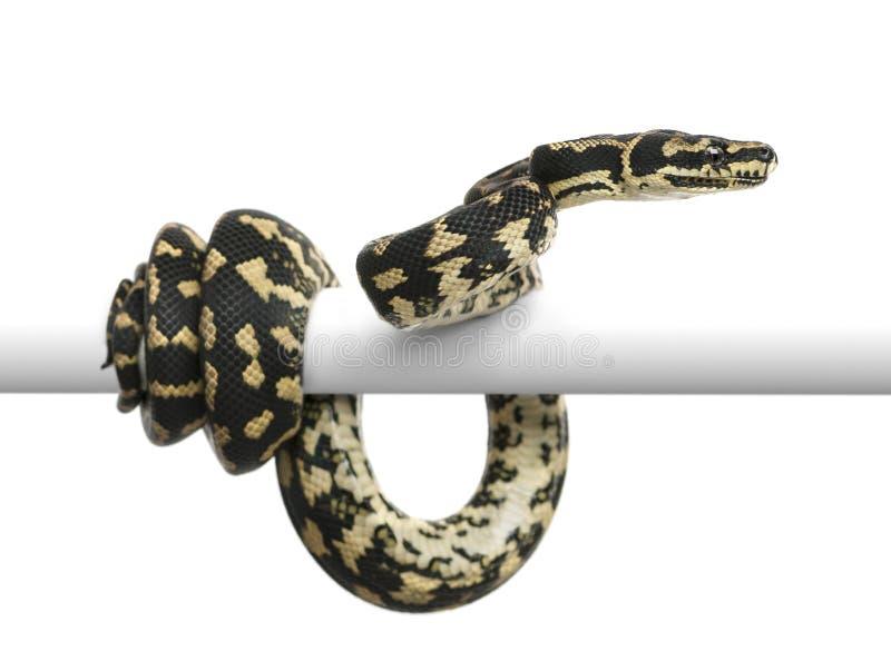 Python de tapis de jungle, cheynei de spilota de Morelia photographie stock