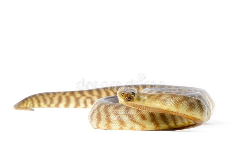 Python de Woma images libres de droits