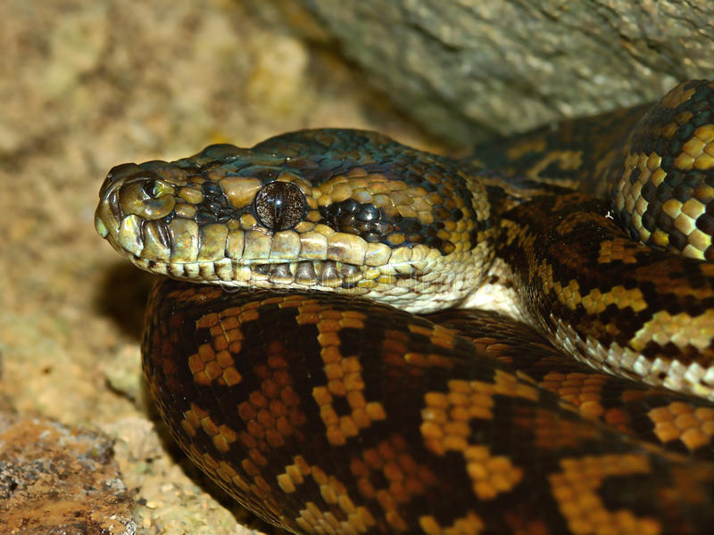 Python en Australie photos stock