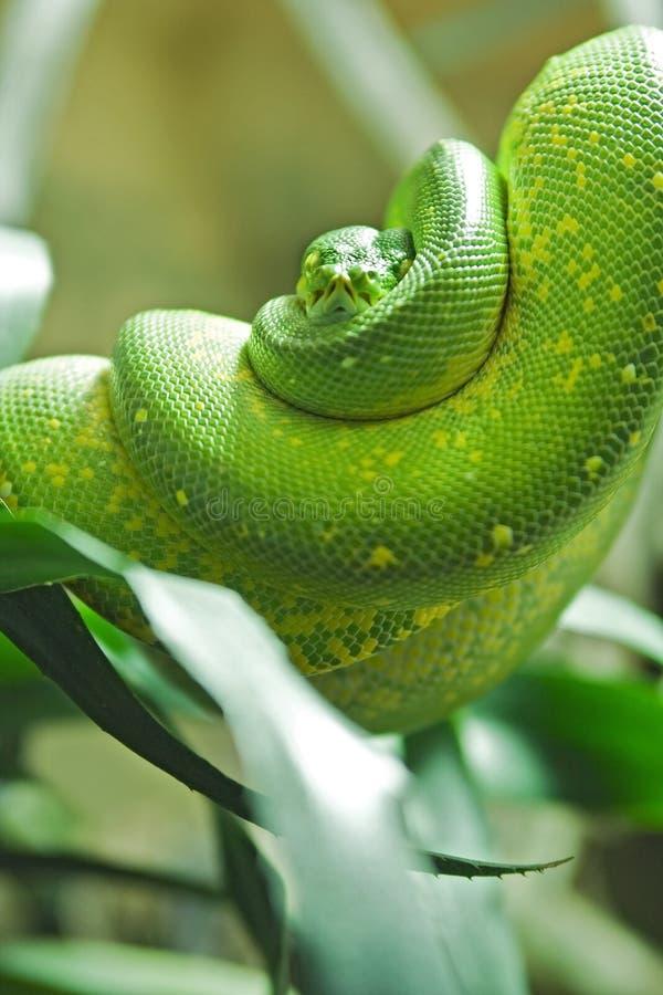 Python green stock image