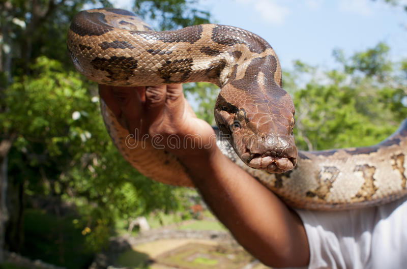 Python Hand-reared photographie stock