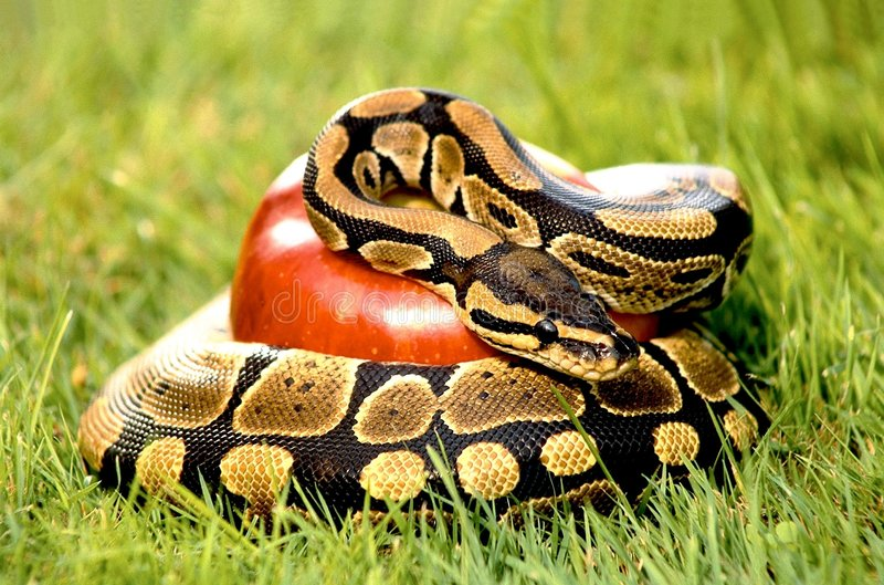 Python on meadow. Python snake crushing a red apple on meadow stock photography