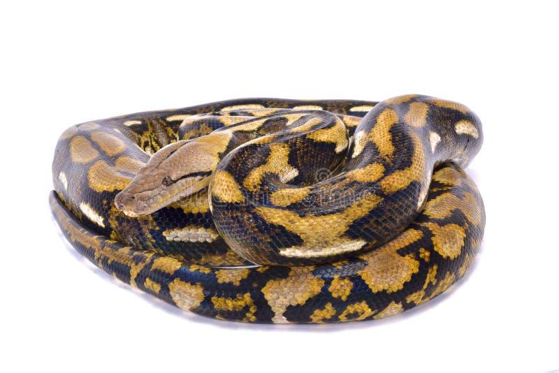 Python met een netvormig patroon, Malayopython-reticulatus royalty-vrije stock afbeeldingen