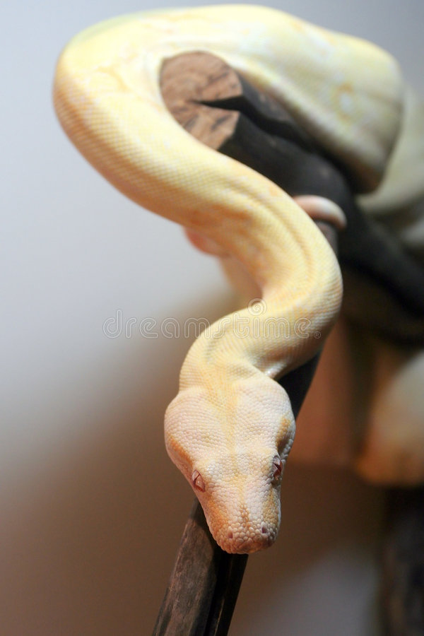 Python from Moscow Zoo royalty free stock photography