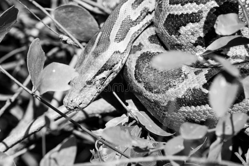 Python noir et blanc dans les arbustes image stock