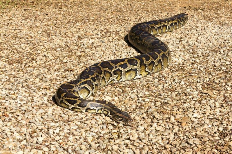 Python réticulé image libre de droits