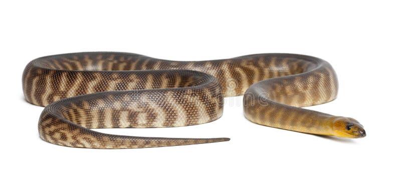 Python, ramsayi d'Aspidites photographie stock