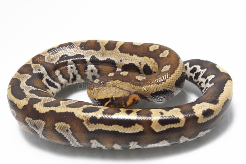 Python rouge Curtis Curtis de python de sang de Sumatran photo stock
