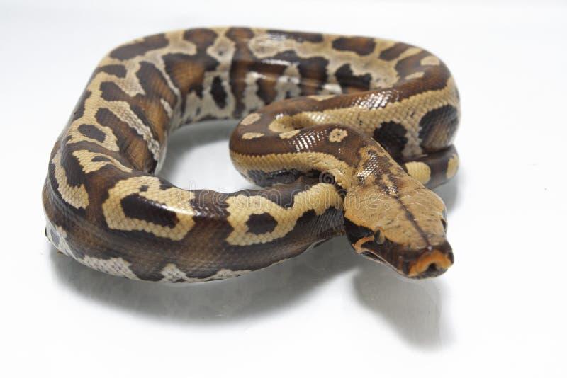 Python rouge Curtis Curtis de python de sang de Sumatran images stock