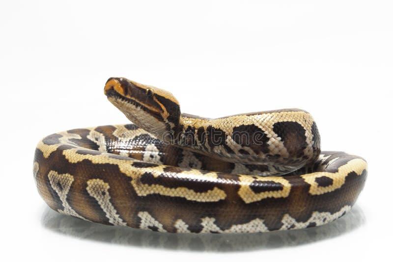 Python rouge Curtis Curtis de python de sang de Sumatran photos stock