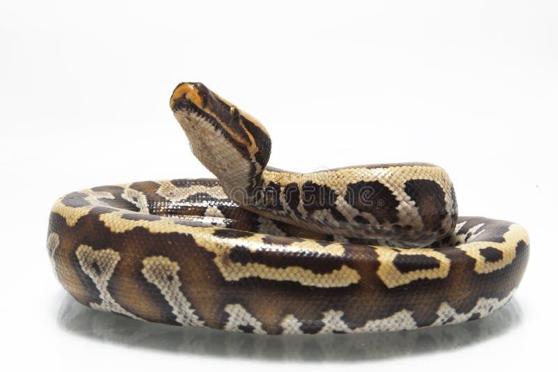 Python rouge Curtis Curtis de python de sang de Sumatran photo libre de droits