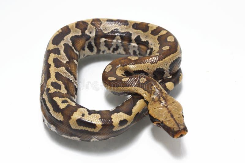 Python rouge Curtis Curtis de python de sang de Sumatran photographie stock libre de droits
