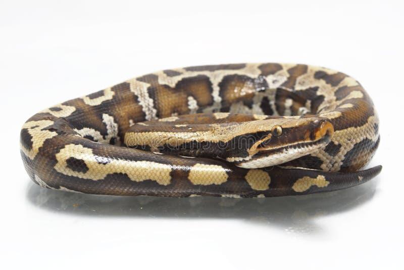 Python rouge Curtis Curtis de python de sang de Sumatran photos libres de droits