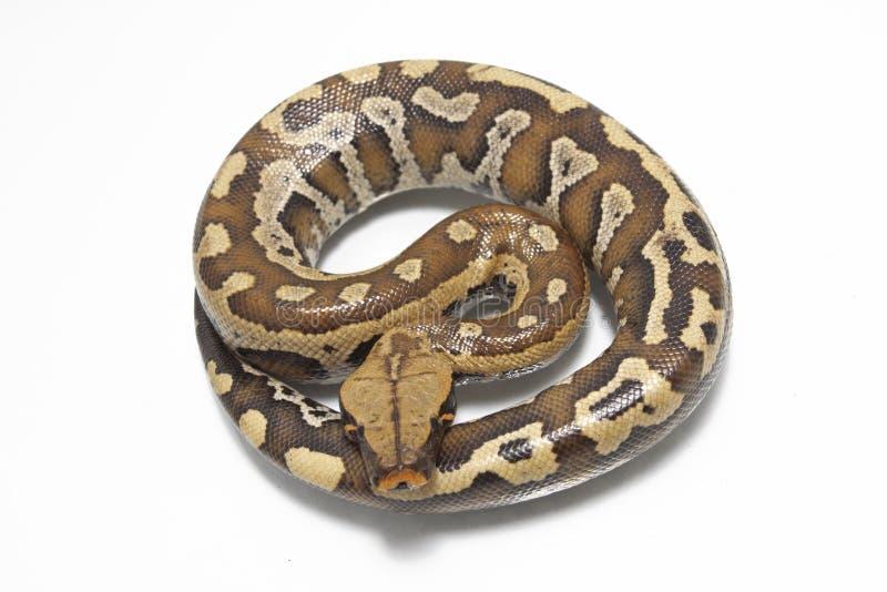 Python rouge Curtis Curtis de python de sang de Sumatran image stock