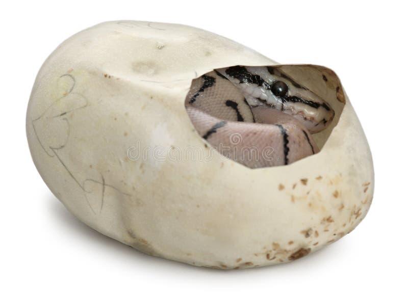 Python royal en son oeuf, python de bille photo libre de droits