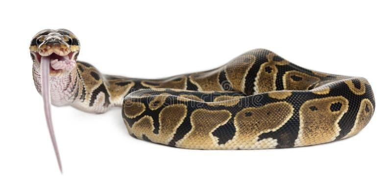 Python Royal python eating a mouse, ball python royalty free stock photos