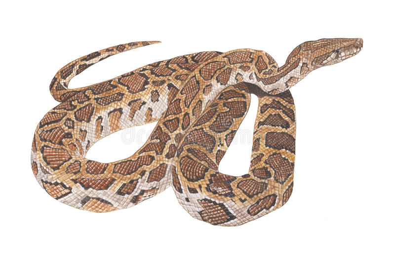 Python snake royalty free stock image