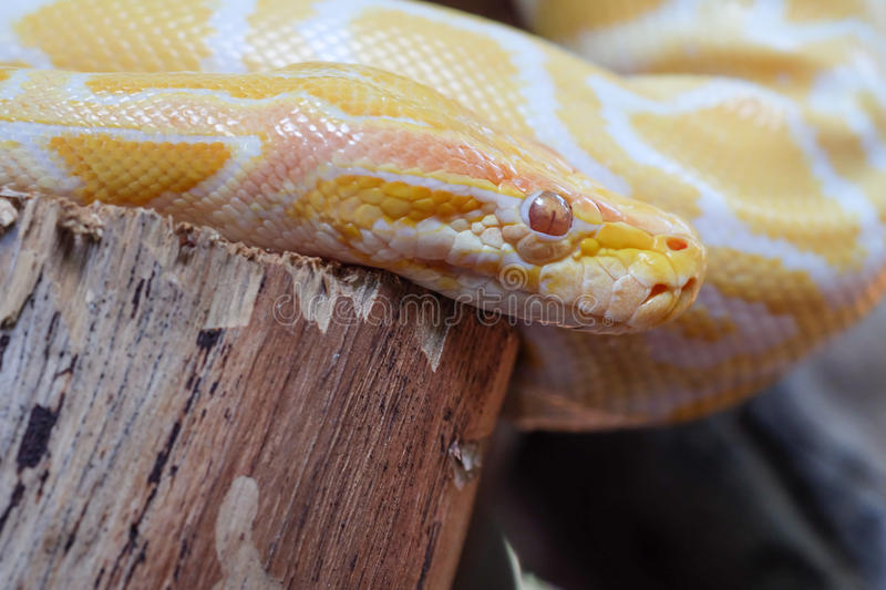 Python snake. Large gold python snake on a log stock images