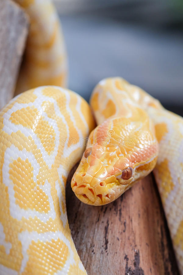 Python snake. Large gold python snake on a log royalty free stock image