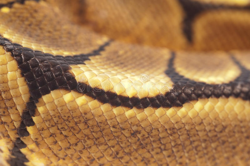 Python Snakeskin de bille photo stock