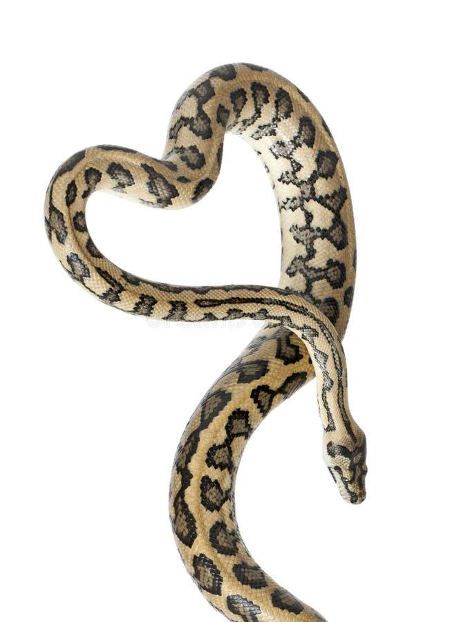 Python, variegata de spilota de Morelia images libres de droits