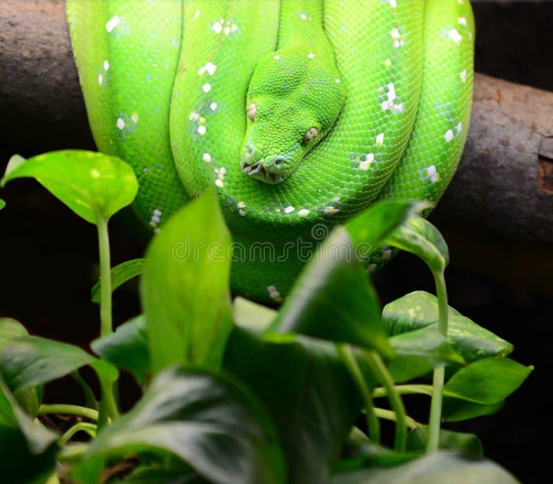 Python vert d'arbre photographie stock libre de droits