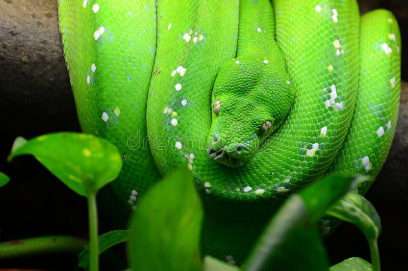 Python vert d'arbre images stock