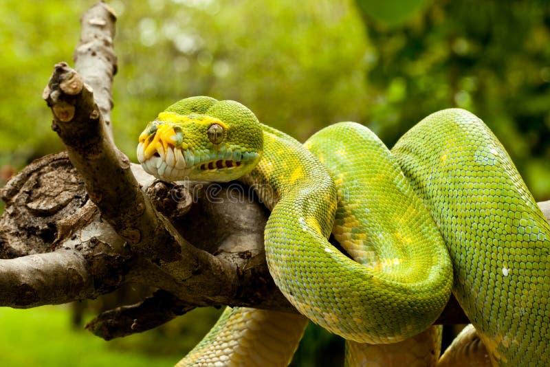 Python vert d'arbre. photo libre de droits