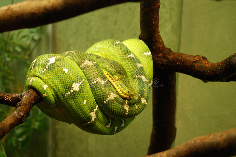 Python vert d'arbre photo stock