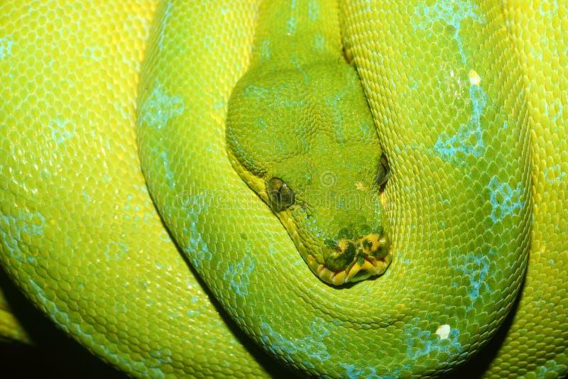 Python vert d'arbre photo stock