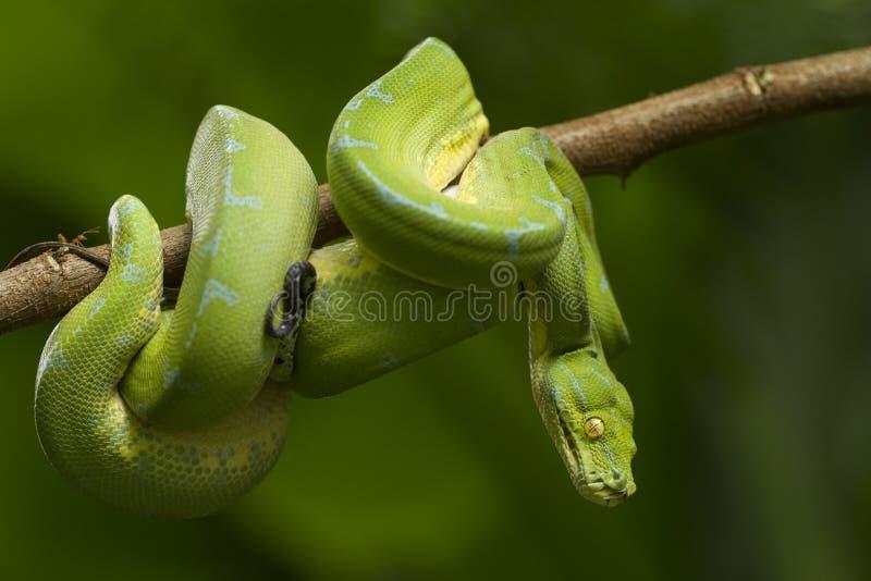 Python vert d'arbre, localité de sorong de viridis de Morelia image stock