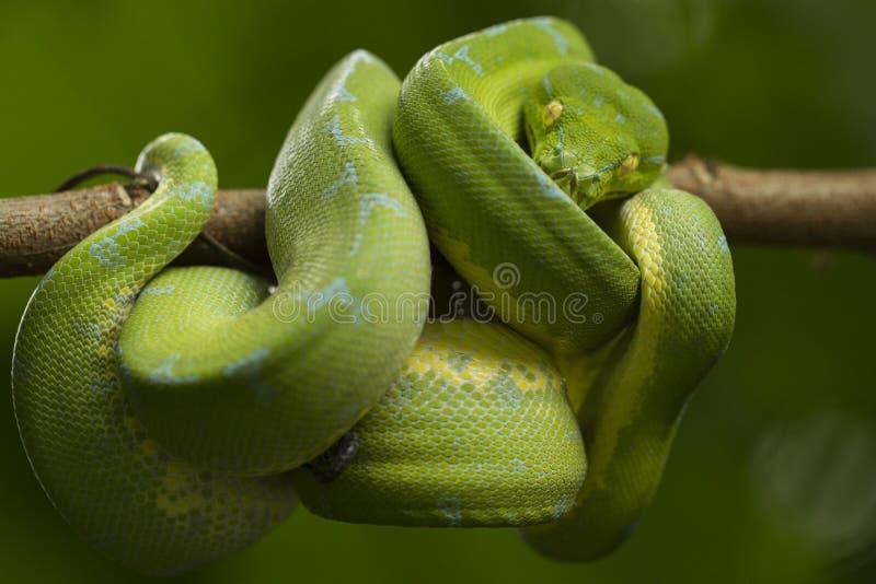 Python vert d'arbre, localité de sorong de viridis de Morelia photos libres de droits