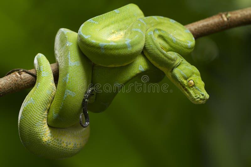 Python vert d'arbre, localité de sorong de viridis de Morelia photos stock